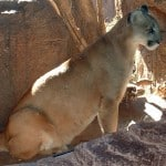 Hikers rarely encounter mountain lions on the trail. But should they stand tall or run?