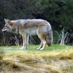 Coyote Playing on a Tee Area at the Lake Shastina Golf Resort