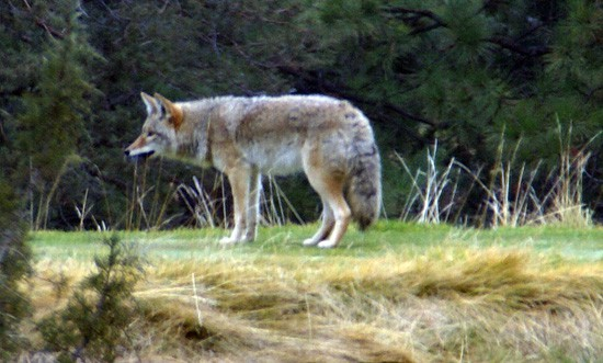 Coyote on Lake Shastina golf course