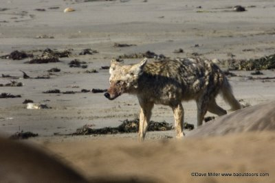 Coyote at Ano Neuvo. (Photo by Dave Miller)