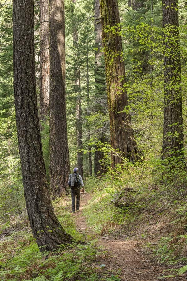 Hiking a forested section of the Pacific Crest Trail in Northern California