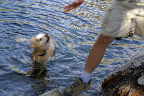 Molly, my golden retriever, swimming in Middle Cliff Lake, Trinity Divide Mountains west of Mount Shasta.