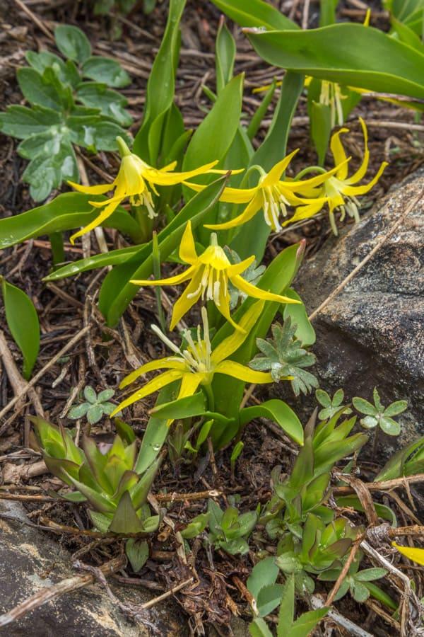 Yellow Avalanche Lilies, Trinity Alps