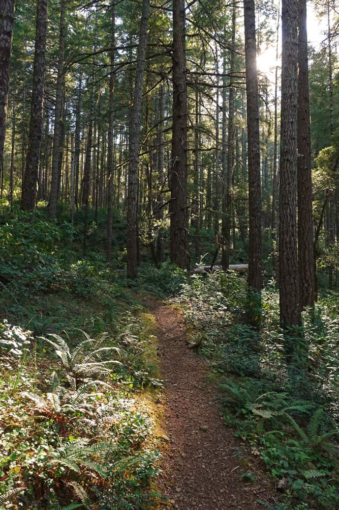 French Hill Trail in Six Rivers National Forest, Smith River National Recreation Area. The French Hill Trail passes through a Douglas fir forest with lots of sword fern.