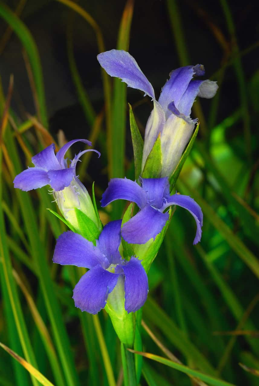 Fringed gentian: This beautiful little gentian can be found (if you're observant) in wet meadows throughout the Trinity Alps. It is small and hides down in the surrounding grass, making it difficult to spot.