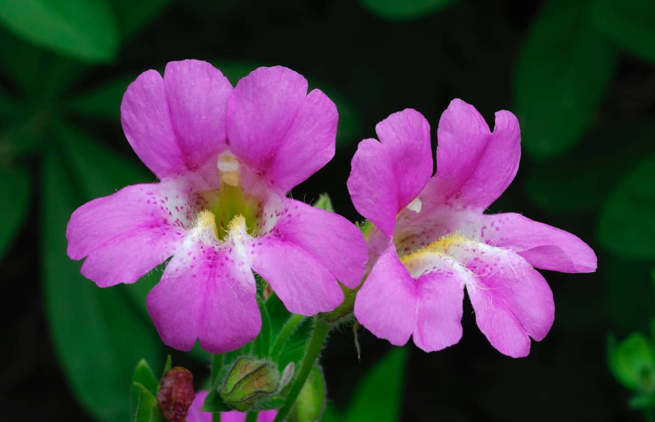 Lewis monkeyflower: Here is an eye opener! These stunning magenta-pink monkeyflowers can be found throughout the higher elevations of the Alps. They frequent springs and seeps, especially in places like Grizzly and Papoose Lakes and the upper reaches of the East Fork of Stuart Fork Trail as it approaches Bee Tree Gap. (Photo by Ken DeCamp)