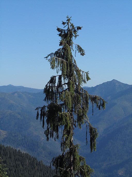 Brewers Spruce above Bear Lake, Siskiyou Wilderness, accessible by the Kelsey National Recreational Trail.