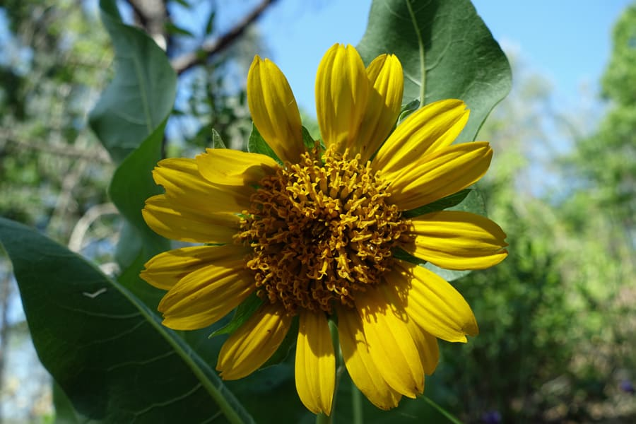 The Sugarloaf Creek Trail hosts many wildflowers, including the wooly sunflower.