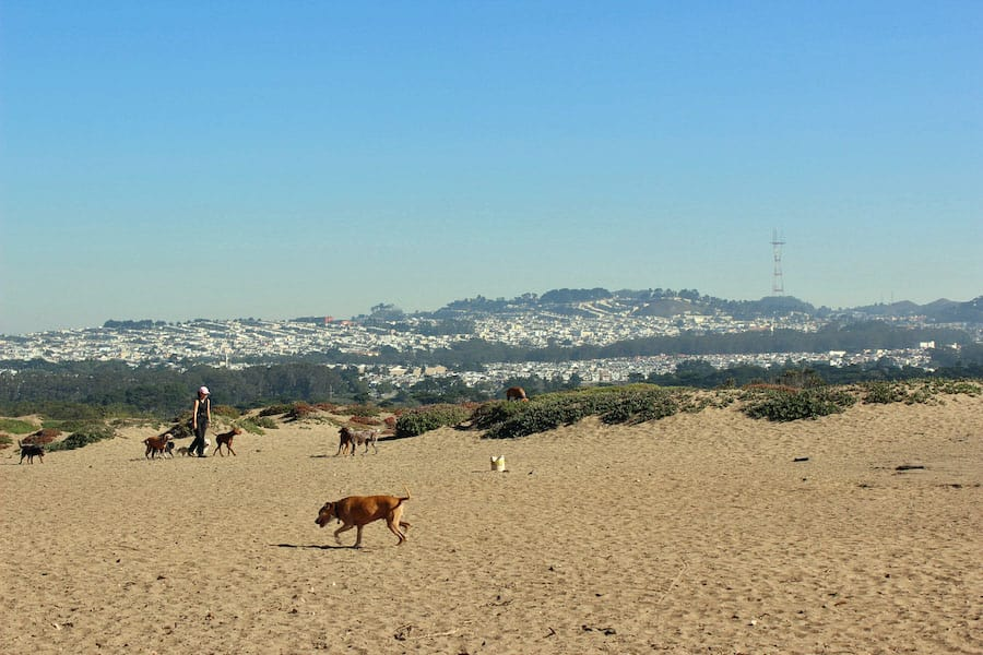 Hikers with dogs will love Fort Funston. Dogs can be off-leash on the beach: you may see hundreds of dogs roaming at the same time!