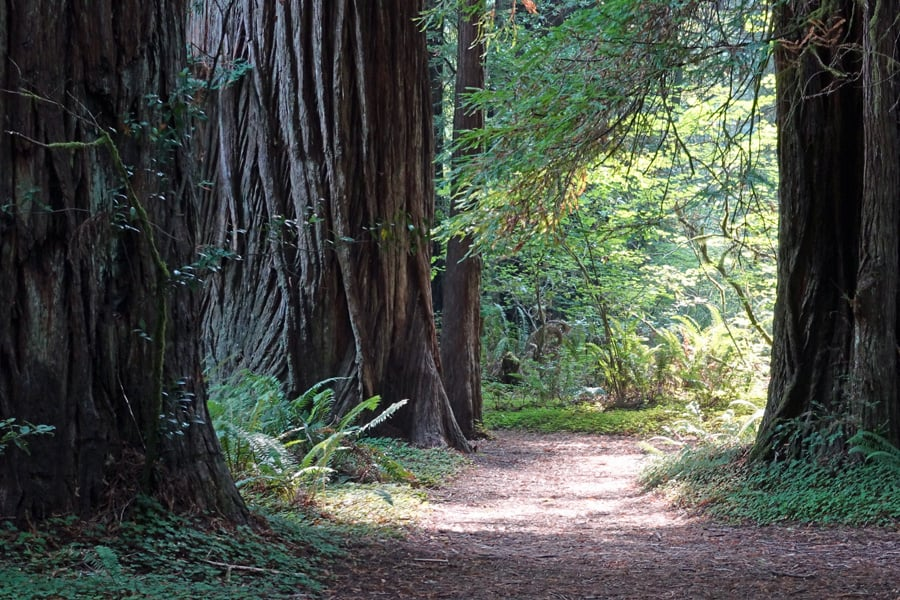 Giant redwood trees along the Hiouchi Trail in Jedediah Smith Redwoods State Park beside Mill Creek, near Crescent City and Highway 199.