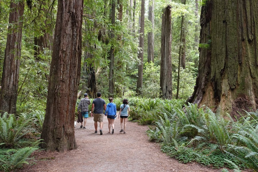 Stout Grove hiking trails pass under giant redwoods in Jedediah Smith Redwoods State Park.