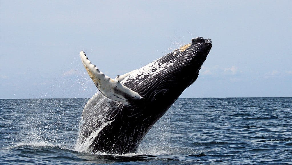 Humpback whale breaching. Humpback whales are common off the California Coast, including Del Norte County and Humboldt County.