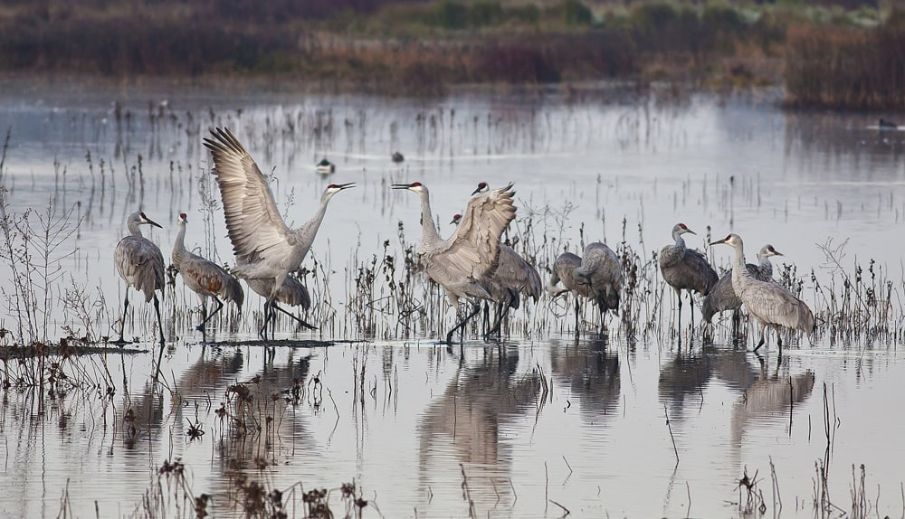 Sandhill cranes at Cosumnes River Preserve. Many waterfowl and other birds spend part of the winter here..