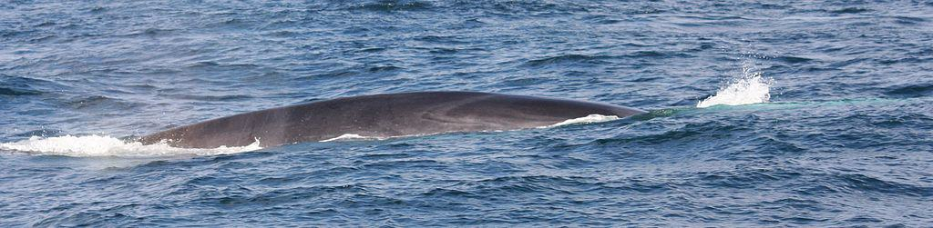 Fin Whales swim year-round near the coast of Northern California.