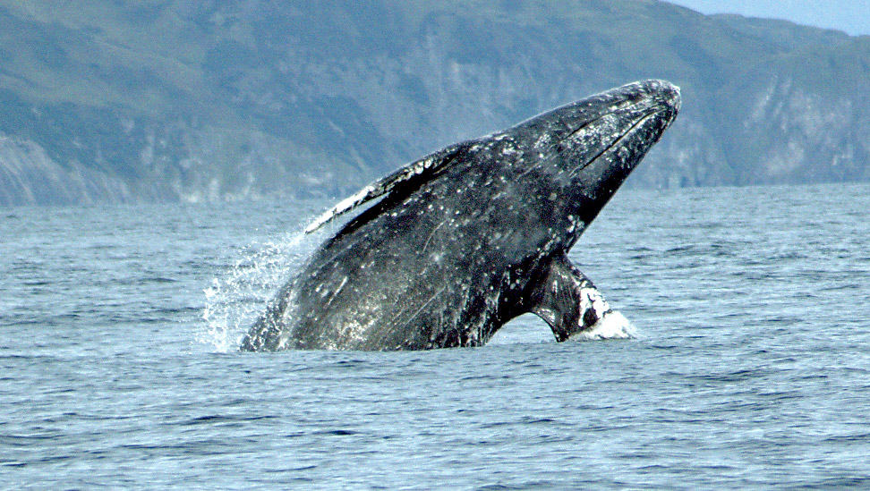 Gray whales are often viewed off the coast of Northern California and are favorites of whale watchers. (Courtesy NOAA)