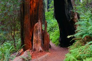 Ah-Pah Interpretive Trail: Easy Hike and Beautiful Redwoods