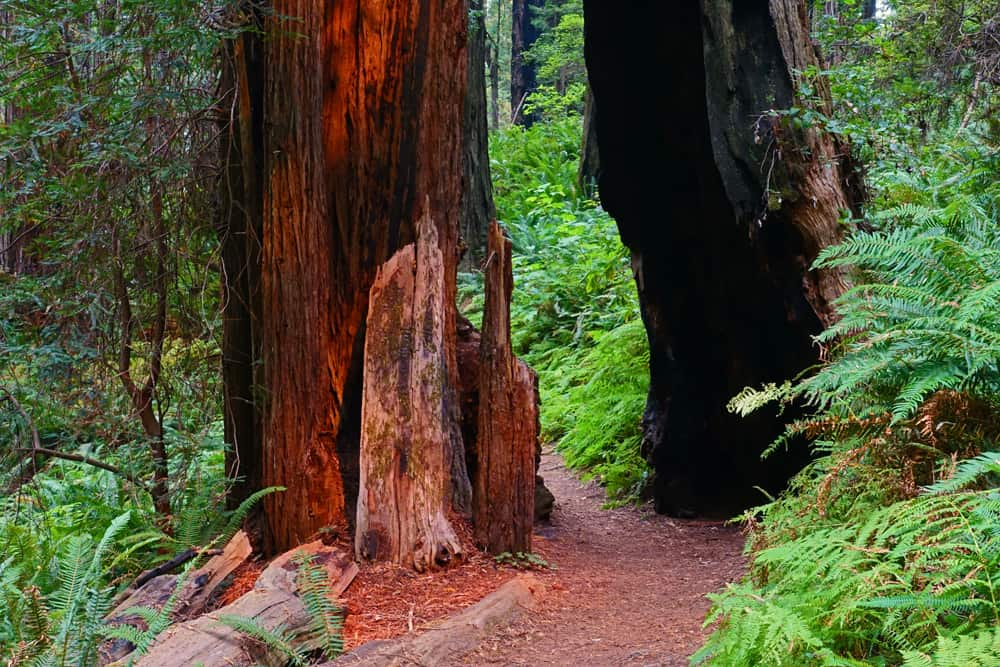 The Ah-Pah Interpretive Trail travels through up-slope redwood forest in Prairie Creek Redwoods State Park.