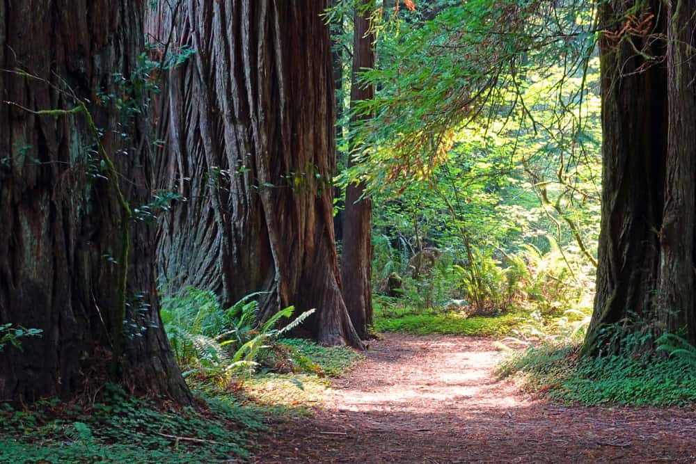Redwood National and State Parks Facts: old-growth redwood trees along the Hiouchi Trail in Jedediah Smith Redwoods State Park.