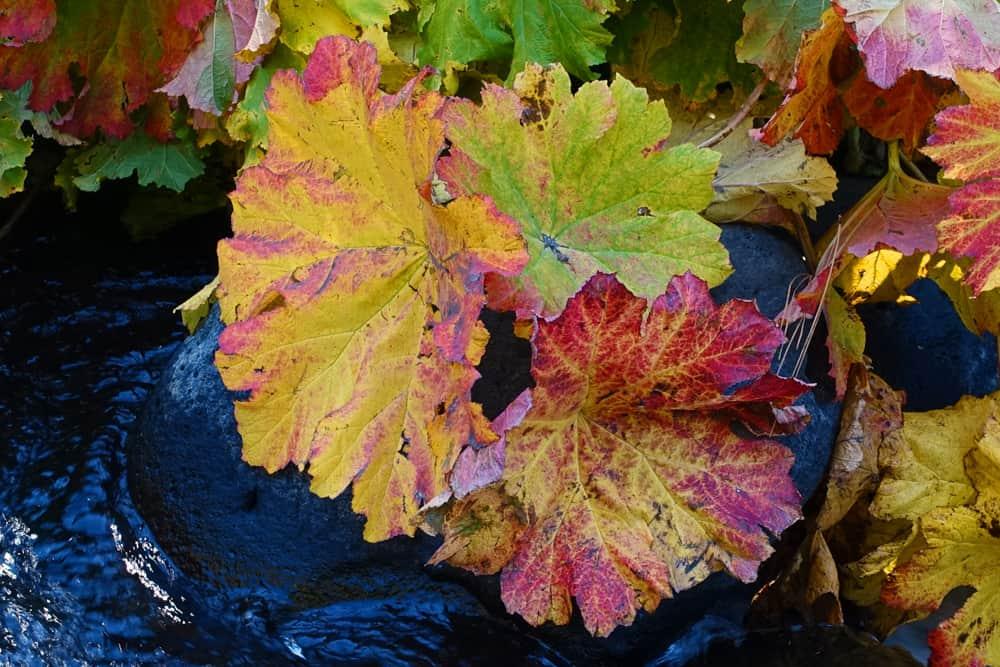Autumn color: Indian Rubarb along the McCloud River